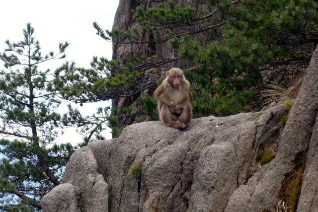 Monkey Huangshan Mountain China